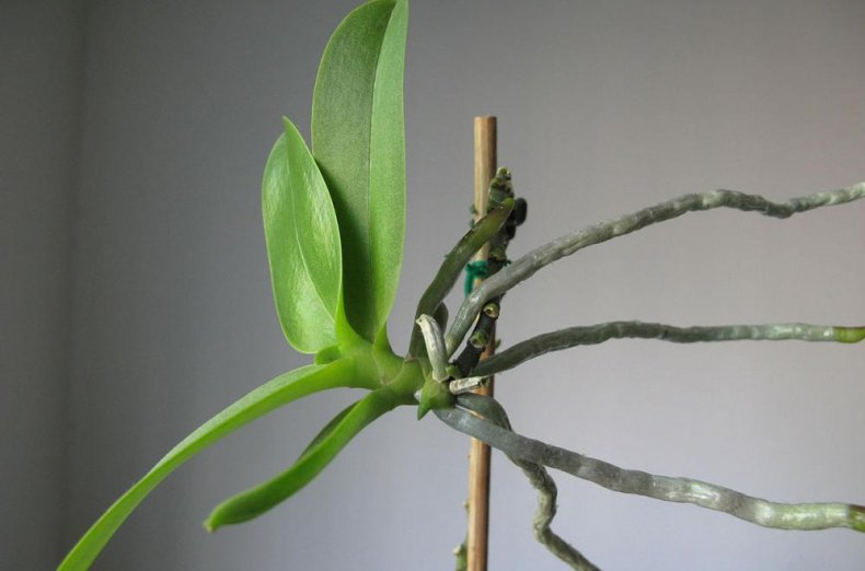 Как правильно пересаживать детку орхидеи