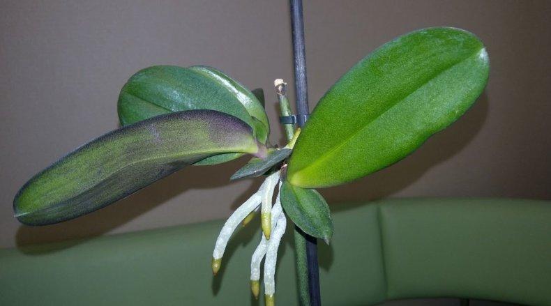 Детки орхидеи