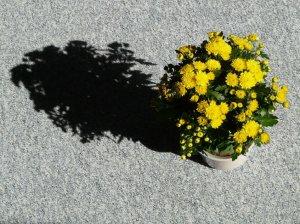 Хризантема в горшке отцвела что делать