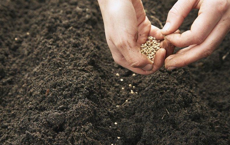 Посев семян кориандра