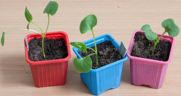 Мірабіліс вирощування з насіння