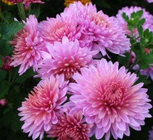 Хризантема корейская фото