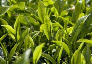 В Украине возобновят самую северную чайную плантацию