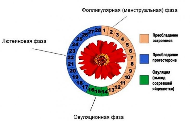 Фазы менструального цикла у женщины