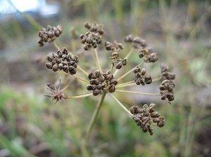 семя, петрушка, лечебный, вред