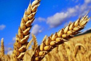 В Челябинске начнут выращивать итальянские сорта пшеницы