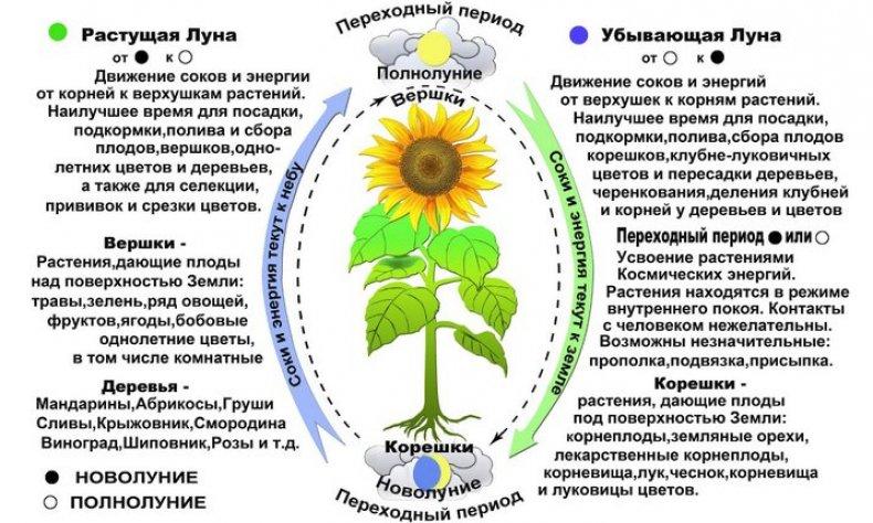 Как влияют фазы Луны на посадку растений