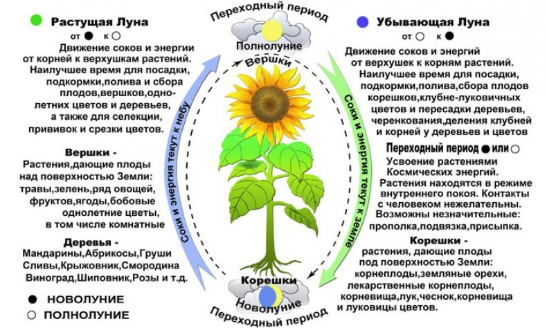 Влияние фаз луны на растения и урожайность