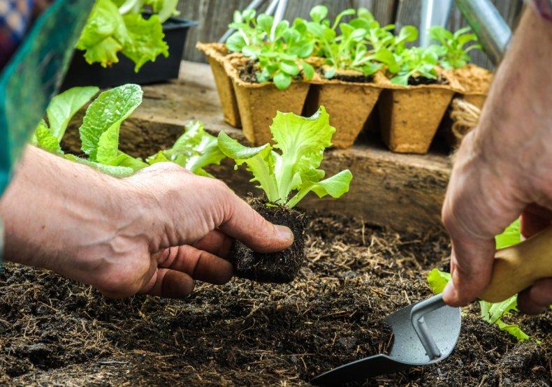 Высадка рассады листовых овощей