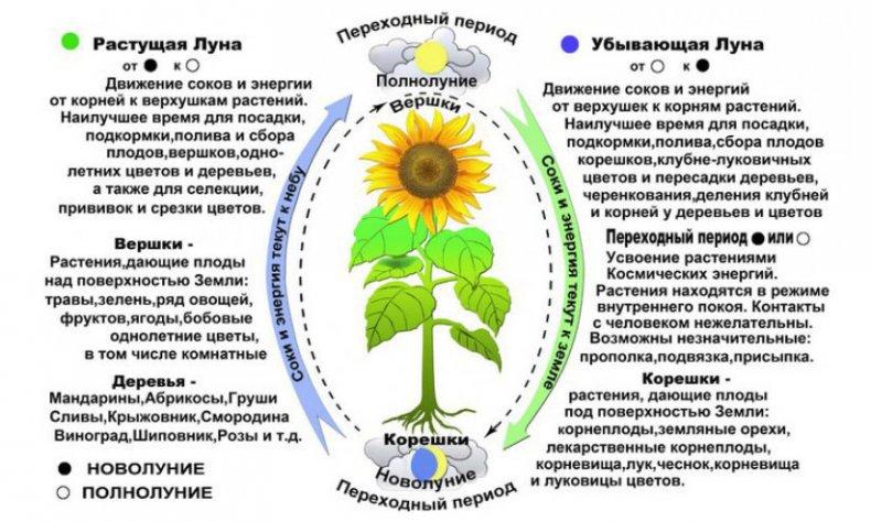 Влияние Луны на растение