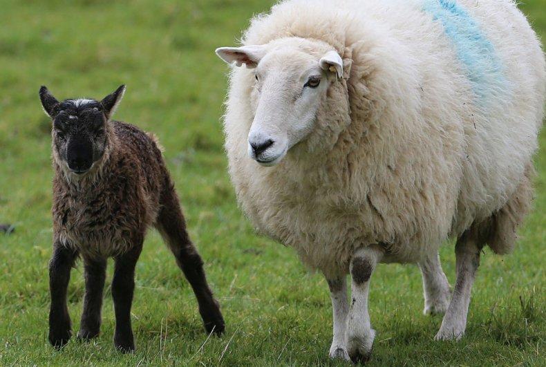 В России будет разработана стратегия развития овцеводства и козоводства