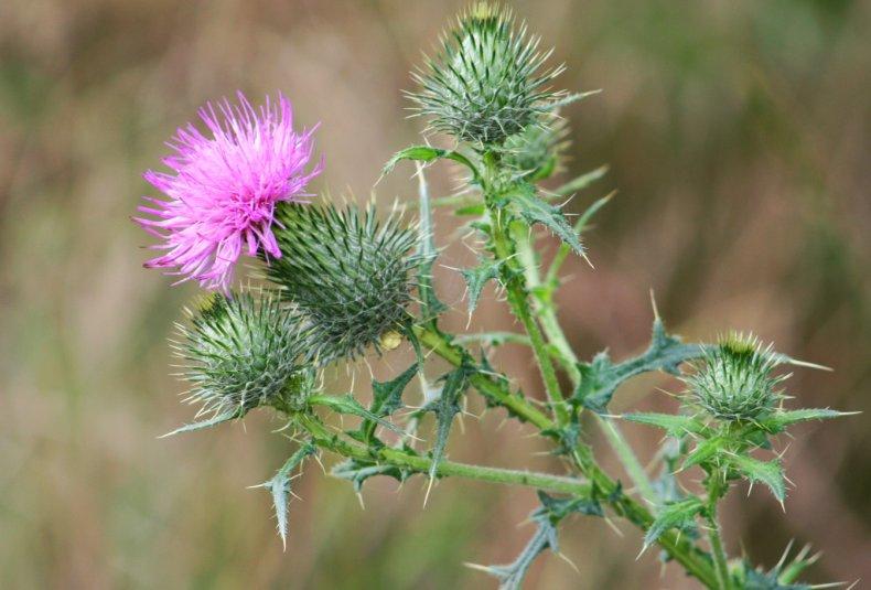 Аргентинские учёные нашли природный гербицид, уничтожающий сорняки