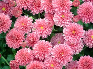 хризантема разновидности