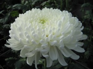Виды хризантем