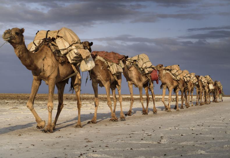В Казахстане по непонятным причинам гибнут верблюды