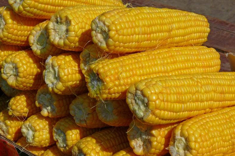 Американцы предрекают Украине щедрый кукурузный урожай