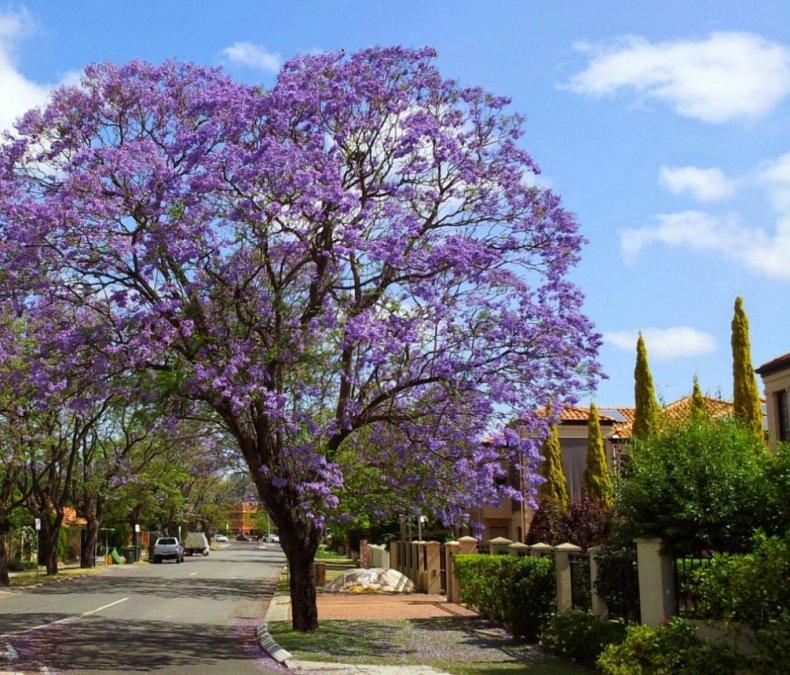 веселые адамово дерево фото комнатное растение обеды палящем