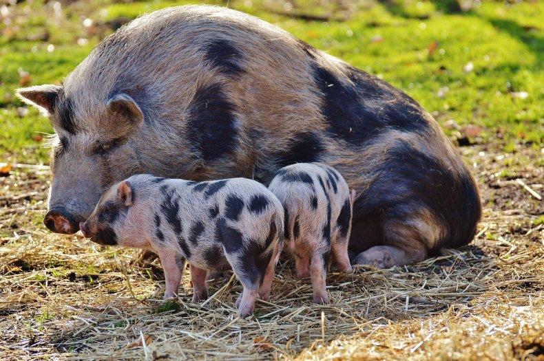 Дания усилит контроль за безопасностью животных на свинофермах
