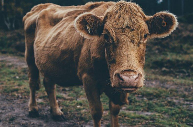 Бездомные коровы терроризируют Южную Африку
